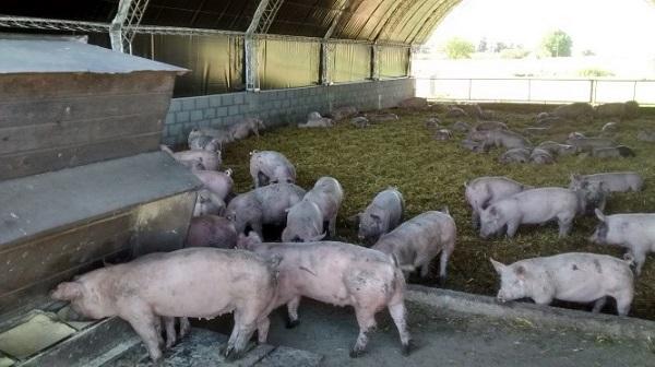 Productores porcinos de Jáchal recibirán infraestructura para mejorar las condiciones de producción
