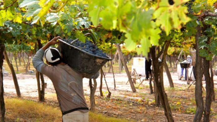Después que Mendoza fijara el precio de las uvas, viñateros sanjuaninos solicitan que se fijen nuevos precios