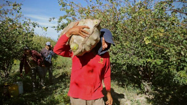 Minas Argentinas lanza un programa de apoyo a productores de membrillo de Jáchal