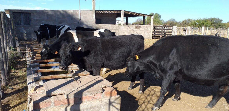 Entregan vacunas para ganado gratis a ganaderos de Valle Fértil