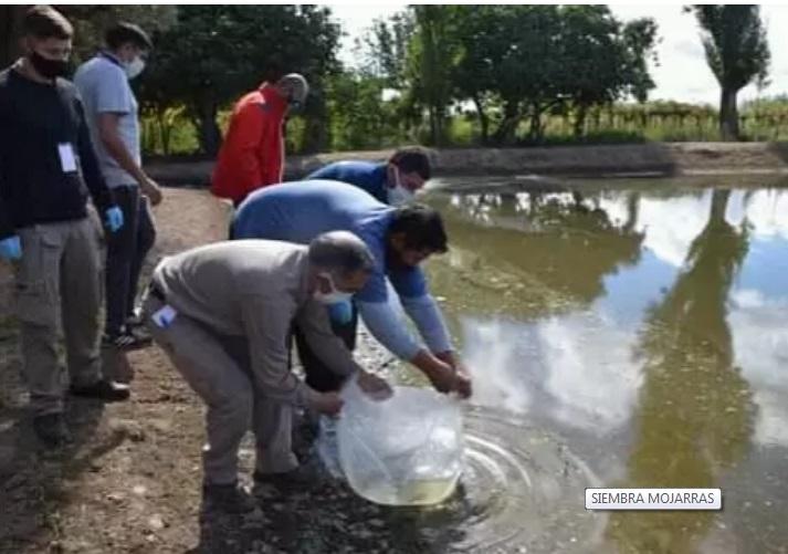Siembran mojarritas para que coman las larvas de los mosquitos y así proteger el ganado en Valle Fértil